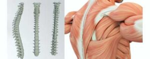 anatomia-de-la-espalda